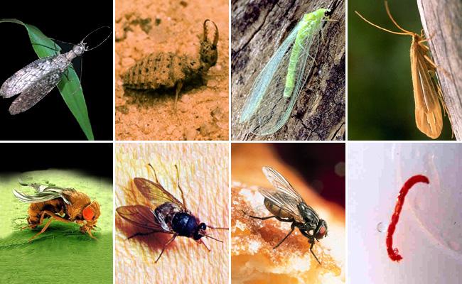 ...муха-цеце, комнатная муха, личинка комара-дергуна (мотыль)