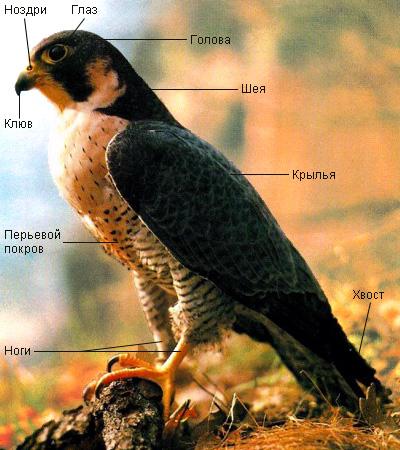 Источник: static.vet.apteka.uz.  Птица сокол фото.  Эта птица обитает в...