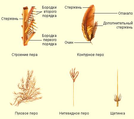 Контурные перья так называются, потому что формируют контур тела птицы.