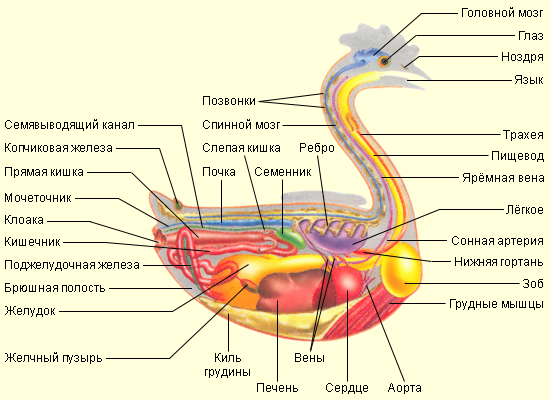 внутренние органы утки схема