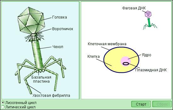 Презентация Вирусы неклеточная форма жизни класс скачать  Реферат 6 класса вирусы